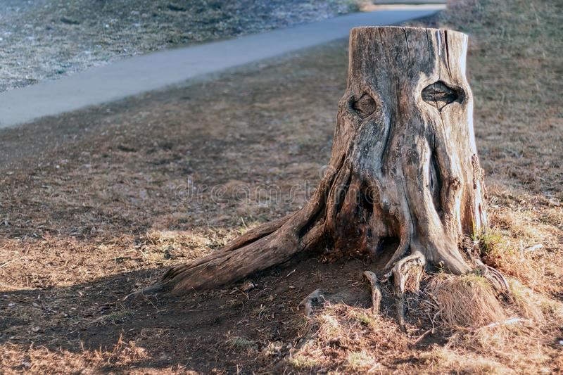 A lonely old rotten stump with bare roots and natural formations in the shape of eyes royalty free stock image