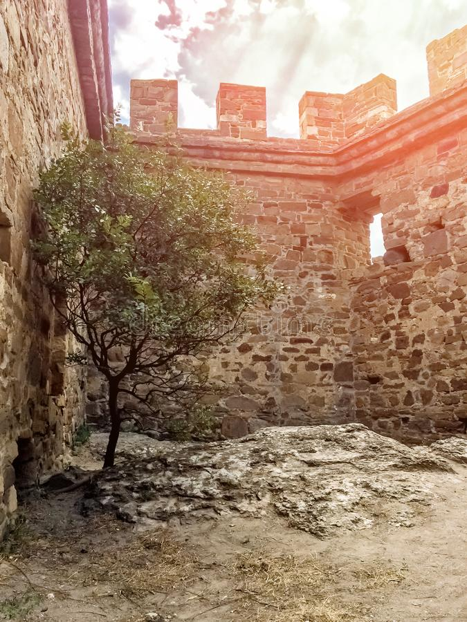 Lonely olive tree at the stone wall of ruined ancient fortress, green tree on a summer day in the rays of the sun in the courtyard. Lonely olive tree at the royalty free stock photography