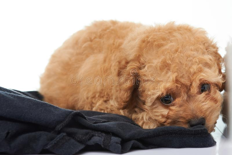 Lonely one poodle puppy stock photos