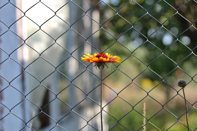 lonely orange flower on a long stalk against a blurry mesh fence stock images