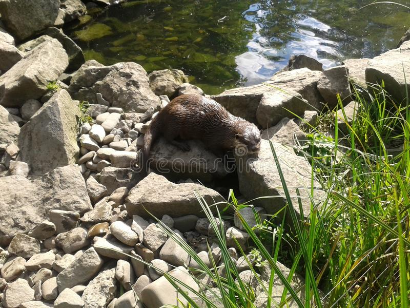 Lonely otter 1. Lonely otter sunbathing ner the waterside royalty free stock photos