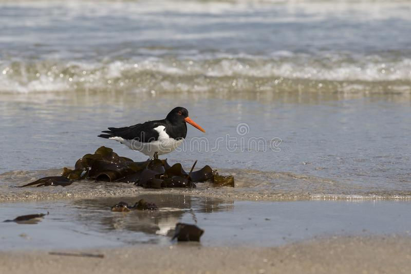 Lonely oystercatcher and kelp royalty free stock photo