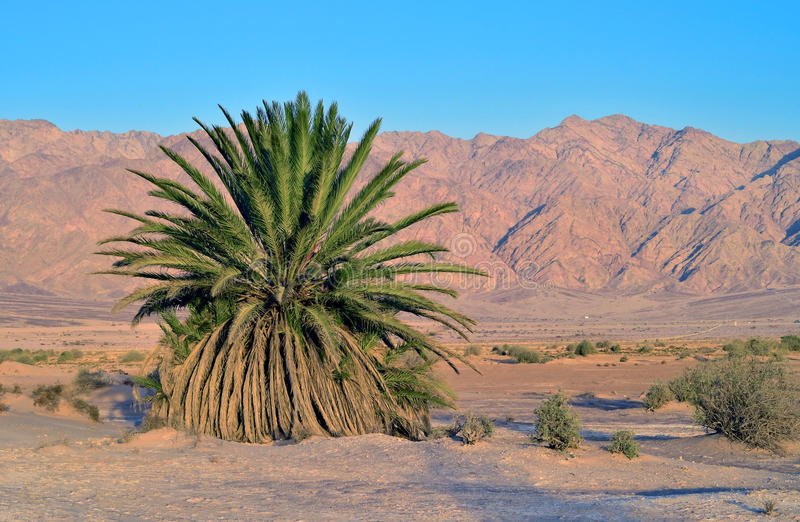 Lonely palm in desert of the Negev, Israel stock image