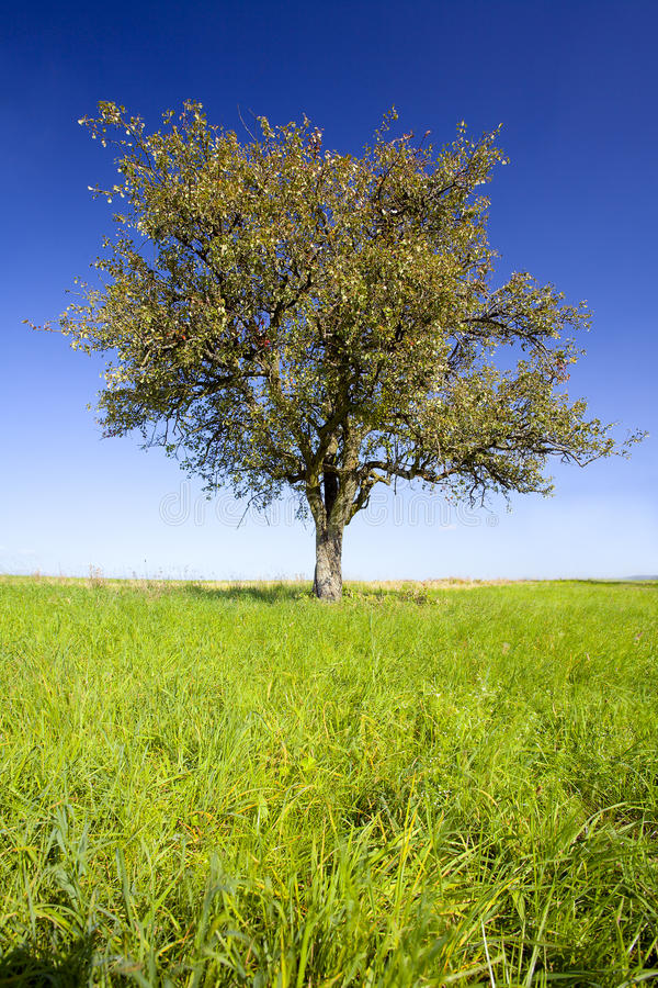 Download Lonely pear tree stock image. Image of clear, foliage - 28871195