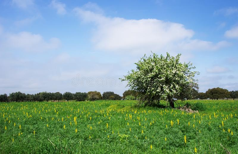 Lonely pear tree in full bloom on field royalty free stock photos