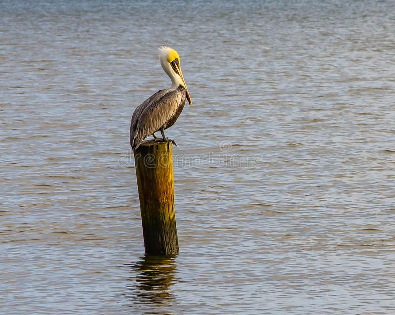 Lonely Pelican. A Florida brown pelican resting on an old piling in a Florida river lagoon stock images