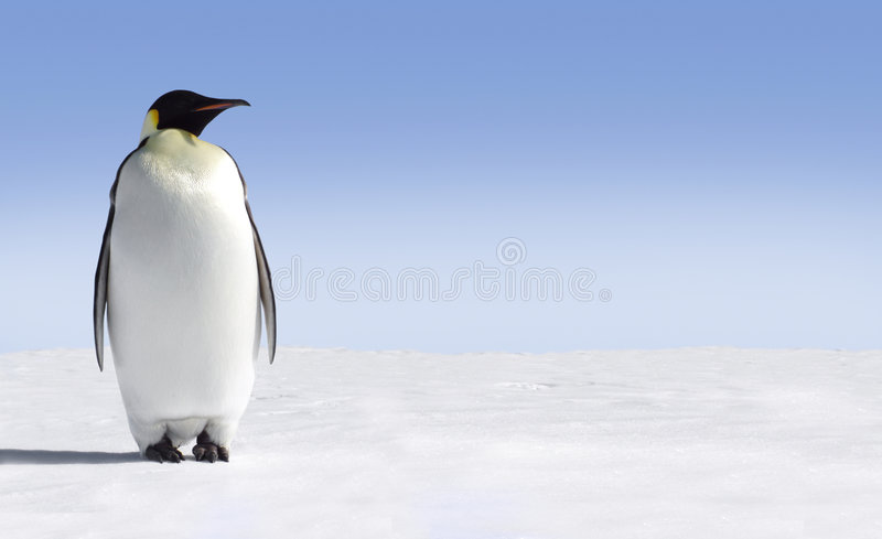Lonely Penguin royalty free stock photos