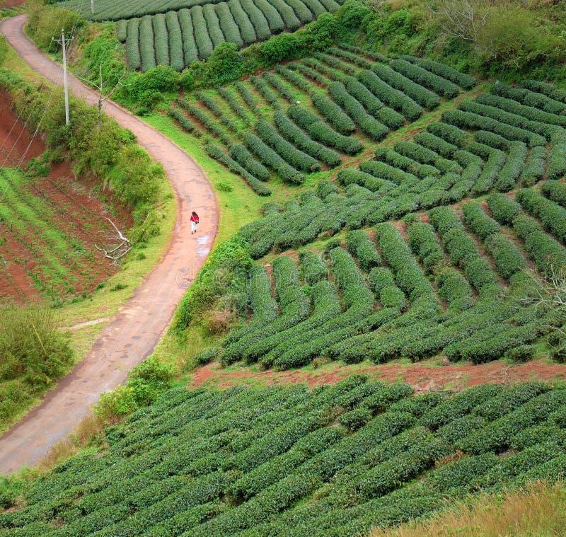 Lonely people, way, walk, tea field, Dalat. Lonely people walking on countryside way, woman walk among tea field at Dalat, Lam Dong, Vietnam, lonesome landscape stock image