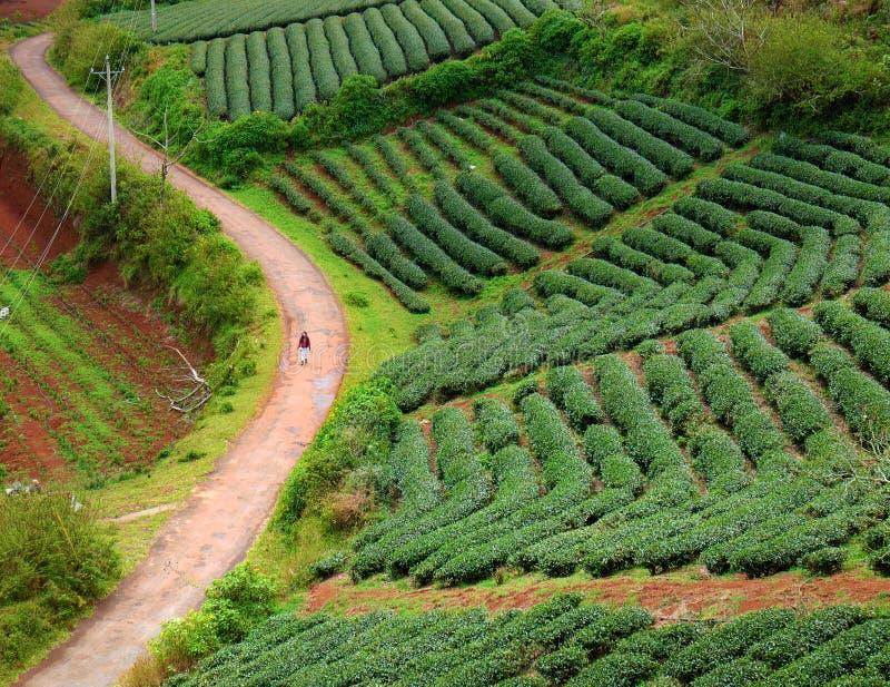 Lonely people, way, walk, tea field, Dalat. Lonely people walking on countryside way, woman walk among tea field at Dalat, Lam Dong, Vietnam, lonesome landscape royalty free stock image