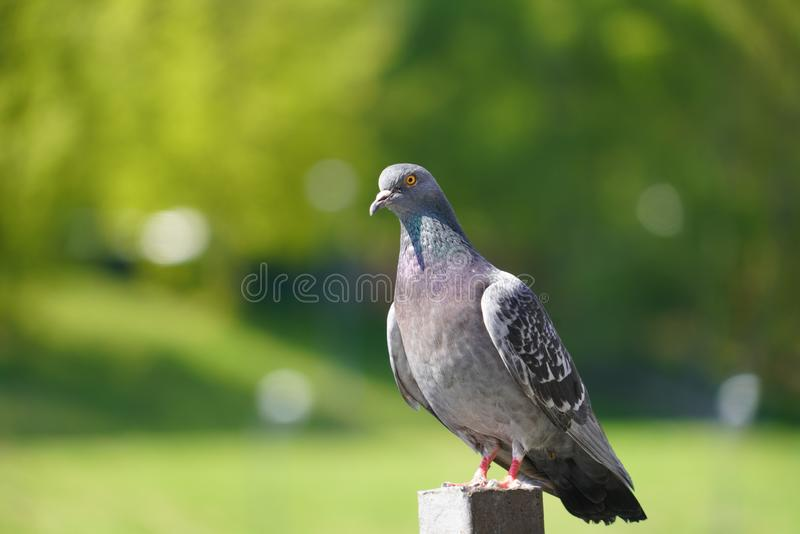 Lonely pigeon enjoying the summer day. with natural afternoon light has become the art of photography. Lonely pigeon enjoying the summer day. With natural stock photography