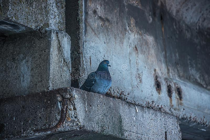 A lonely pigeon hid from the rain. In a gray basement stock photography