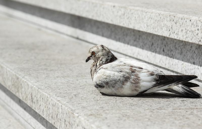 Lonely pigeon on a staircase, bird profile isolated stock images
