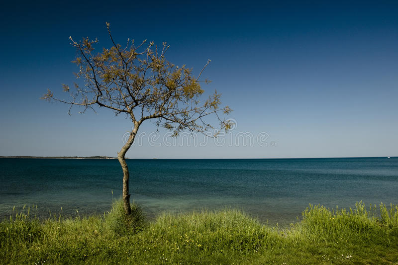 Lonely pine tree royalty free stock image