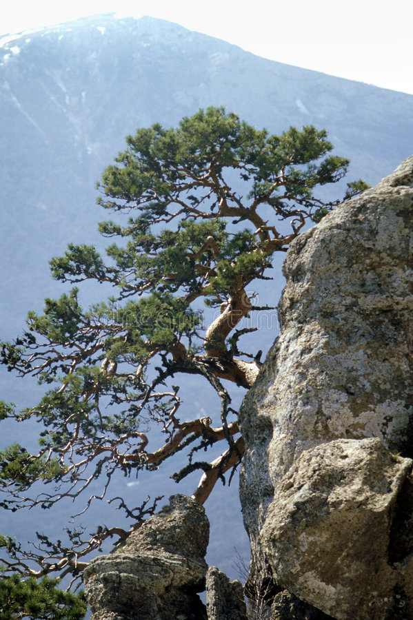 Lonely pine tree stock images