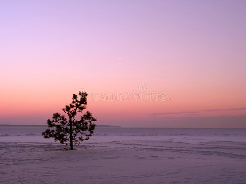 Lonely pine tree stock photo