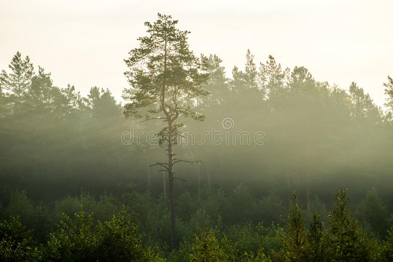 Lonely pine tree in deforested area royalty free stock photo