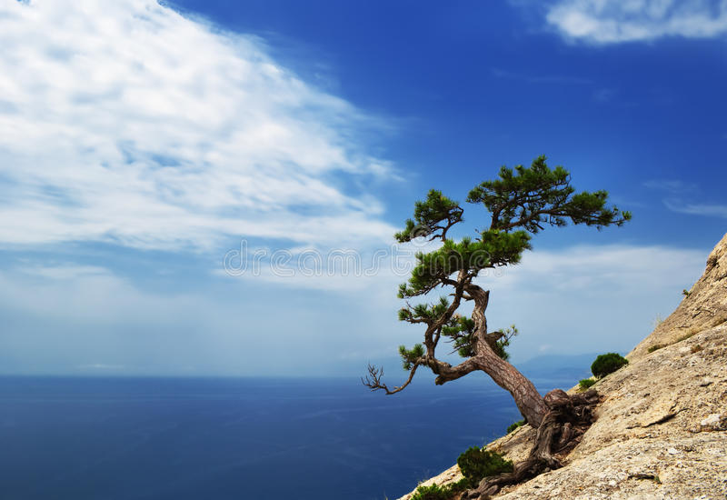 Lonely pine royalty free stock photos