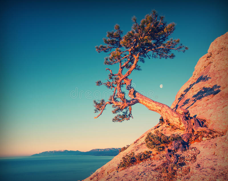Lonely pine tree_vintage royalty free stock images