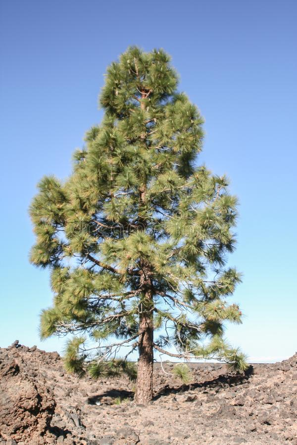 A lonely pine tree on the volcano stock photography