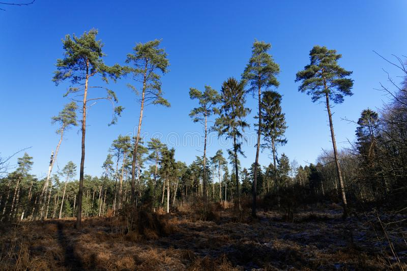 Lonely pine trees in the winter forest and blue sky without clouds stock images