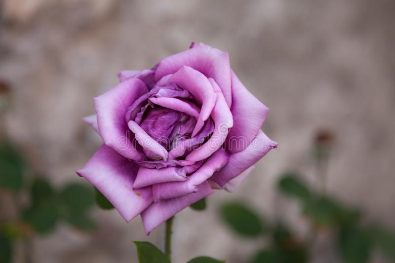 Lonely pink rose. With blurred background stock images