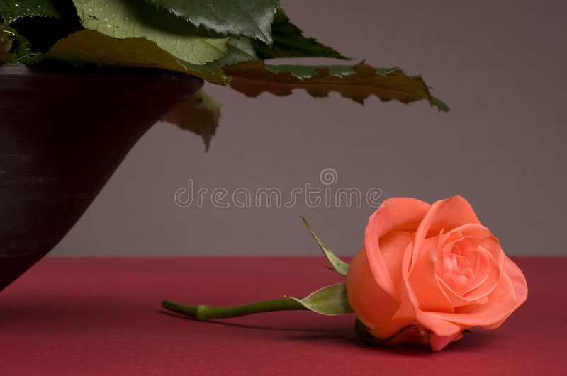 Lonely pink rose flower still-life. Over grey background stock photos