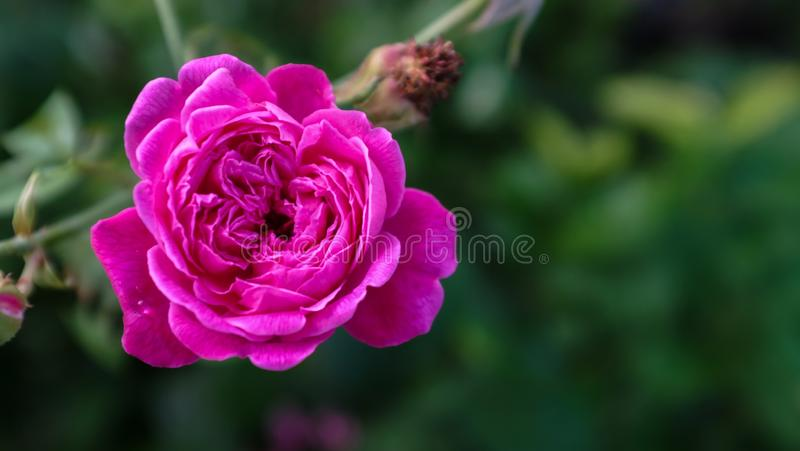 A lonely pink rose. A fresh pink rose royalty free stock photo