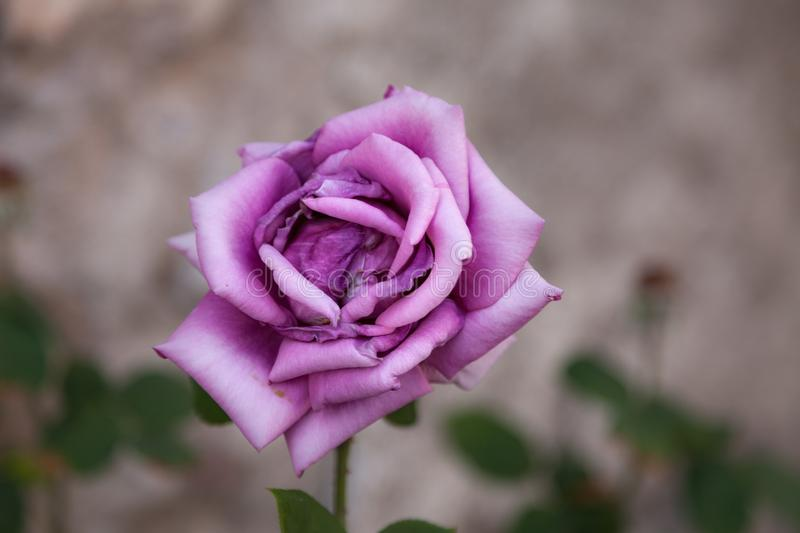 Lonely pink rose. With blurred background royalty free stock image