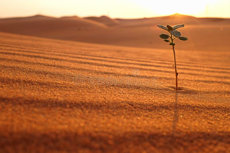 A lonely plant growing on a dry desert land at sunrise. Rebirth, hope, new life beginnings and spring season concept. A lonely plant growing on a dry desert royalty free stock photos