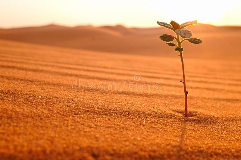 A lonely plant growing on a dry desert land at sunrise. Rebirth, hope, new life beginnings and spring season concept. A lonely plant growing on a dry desert stock photos