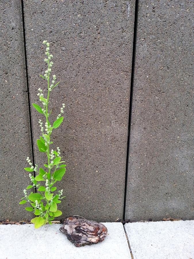 Lonely plant in front of a wall royalty free stock images