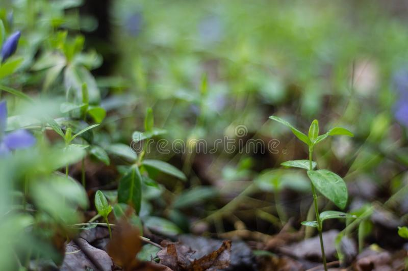 Lonely plant sprouting in woods royalty free stock images