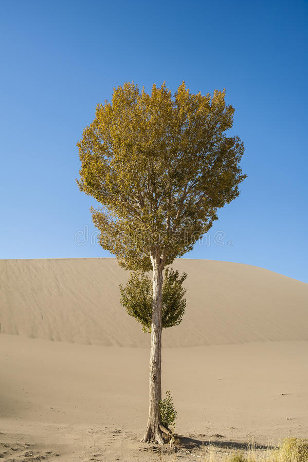 Download A Lonely Poplar Beside The Sand Dune Stock Photo - Image of sand, sandy: 28210708
