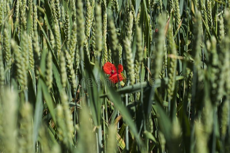 Lonely poppy red flower in a field of green wheat stock photo