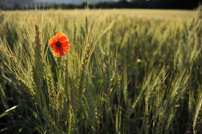 Lonely poppy in a wheatfield view from far. Lonely poppy view from far grew up in a wheat in a sunny summer royalty free stock photo