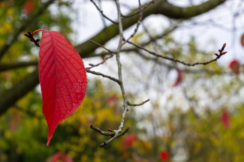 A lonely red autumn leave hanging on a tree branch in the park. Concept, leaf, nature, background, beautiful, bright, closeup, colorful, fall, foliage, forest royalty free stock images