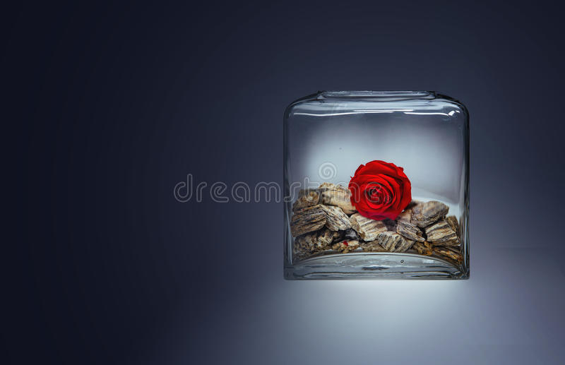 Lonely red rose blossom in a transparent glass vase with stones. On a gradient background stock photos