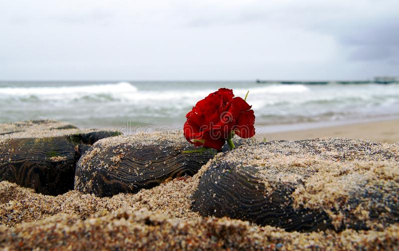 Lonely red rose flower at the beach royalty free stock photo