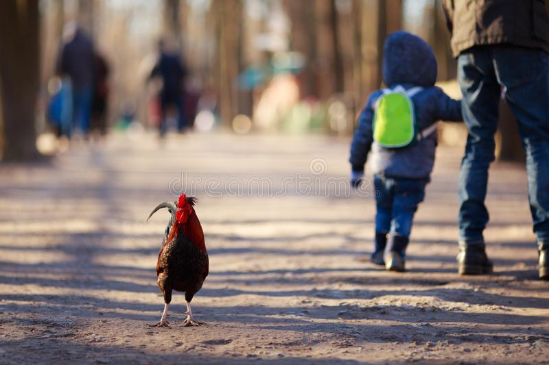 Lonely rooster walking among people. Animal rights, back to natu. Re concept stock photography