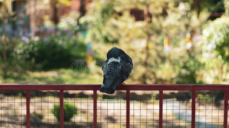 A lonely sad pigeon in the park sits on an iron perch stock photography