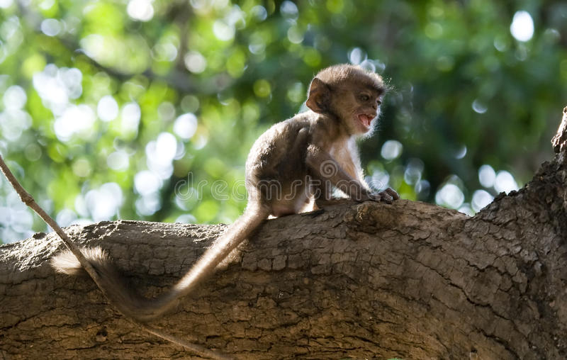 Lonely and scared infant monkey screaming for help stock photo