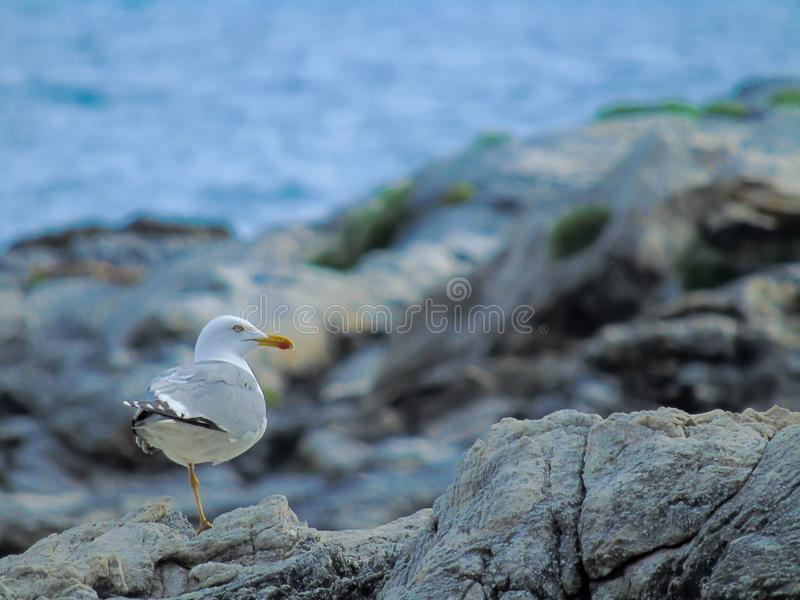 The lonely seagull stock image