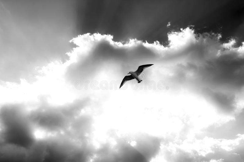 Lonely Seagull. Black and white lonely seagull stock photo