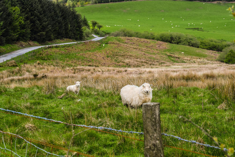 The lonely sheep royalty free stock images