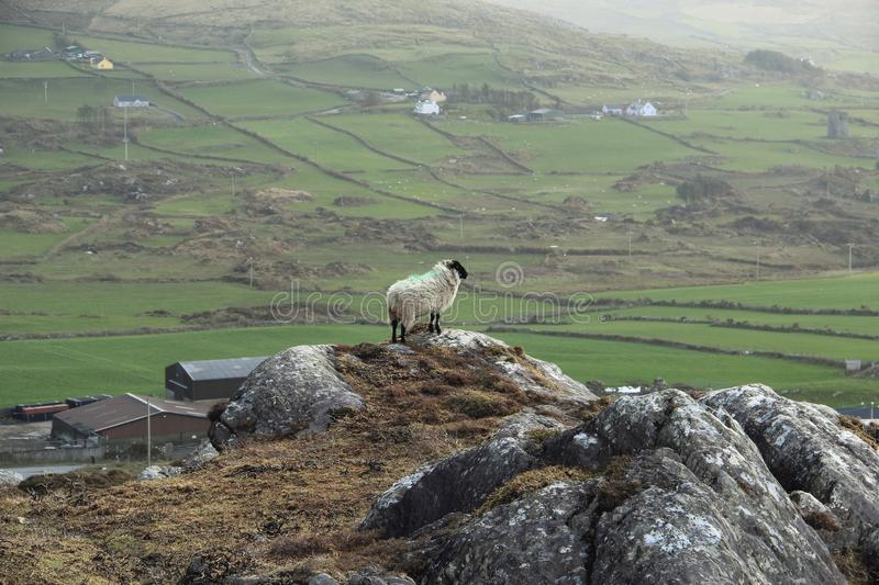 Lonely sheep on a rock royalty free stock images