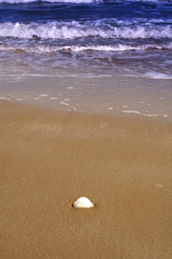 Download Lonely shell on the beach stock photo. Image of bald - 10986460