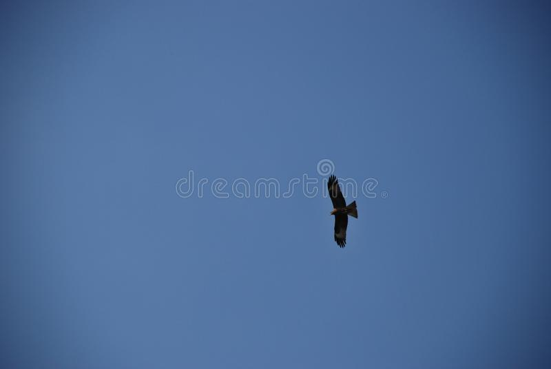Golden eagle flying high in the clear blue sky. Lonely single Golden eagle flying high in the clear blue sky royalty free stock image