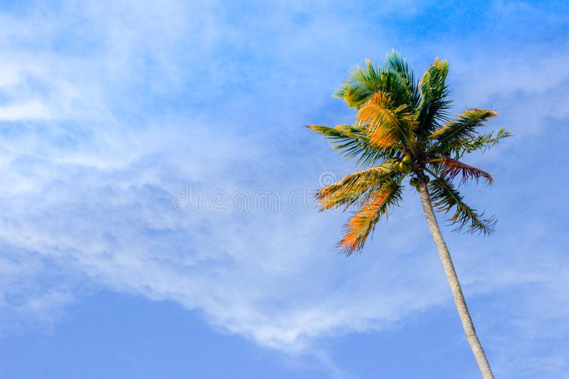Lonely single palm tree with fresh green leaves against a bright sunny sky. Natural background on the theme of the sea, beach, rel royalty free stock images