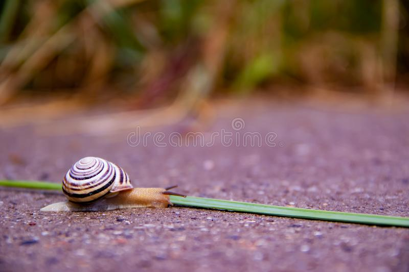 A lonely snail crawls along a road near a green grass royalty free stock photos