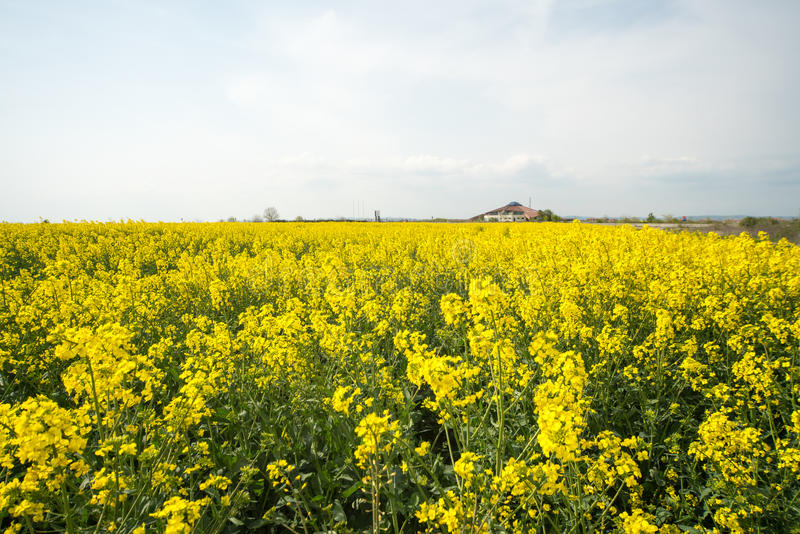 Lonely standing building on the edge of the rapeseed field in Pomorie, Bulgaria royalty free stock photo
